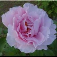 牡丹の花盛り