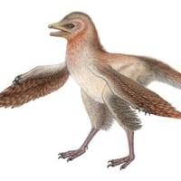 中国で新種の羽毛恐竜の化石発見。全長30センチと今までで最少!