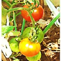 色付き始めた トマト