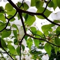ドッグウッドの花が咲くころ