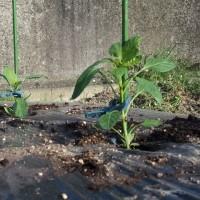 春夏野菜の植え付け。