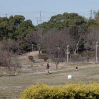 於大公園の花 : シデコブシ ・・・ 大雪の3日間が終わり暖かさが戻った公園には散歩者も増えました。