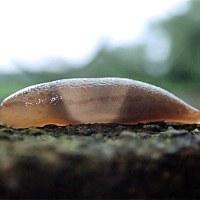 今日の蛞蝓