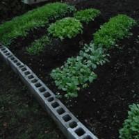 家庭菜園:葉物の近況