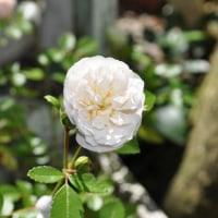 自宅に咲いたバラ&いちごたち