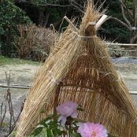 冬ボタン (白野江植物公園)