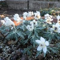 花友の節分草