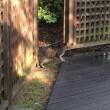 雨上がりのキジトラ