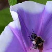 朝顔にミツバチ