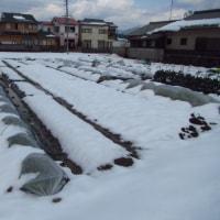 雪下野菜の収穫