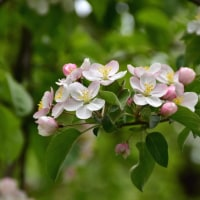 リンゴの花