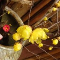 大寒の京都さんぽ③ロウバイと柳もち