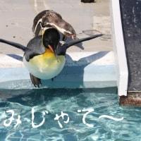 突き落とされたのではないペンギン