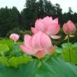 沢観音寺の八重の蓮