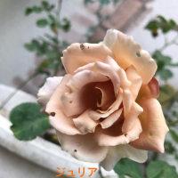 バラ 2017 春