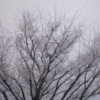 雪ですねぇ。
