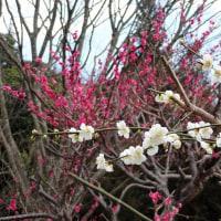 梅は咲いたよ桜は・・・