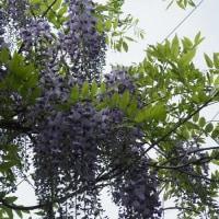 藤の花と白花モチツツジ