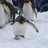 ペンギン散歩連続写真・旭山動物園3