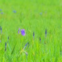 刈谷市 小堤西池 カキツバタ開花