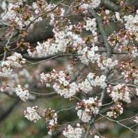 ソメイヨシノの花が、一気に咲き始めた。