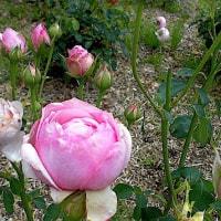 もりやまバラ園!開花も盛りを越して、無料で鑑賞してください。