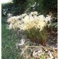 白い花でも曼珠沙華
