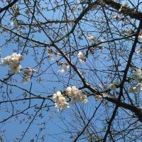 東公園で桜