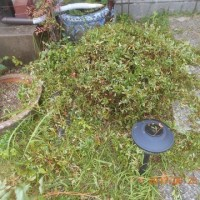 庭のツツジの剪定をしました