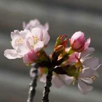 間伐された桜の枝花