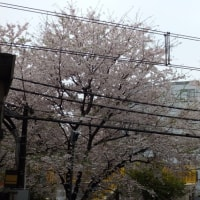 桜はあまり見られなかった 東京2017-2(7)