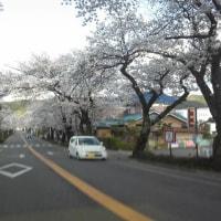 城前線桜満開