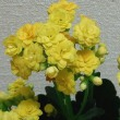 黄色の八重のカランコエ♪