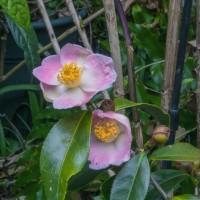 椿のいろいろな種類が開花中『茶々姫』