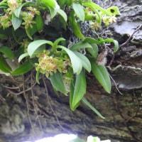 カシノキランの開花