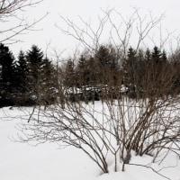 樹木ウォッチング冬から夏へ142ケヤマウコギ1