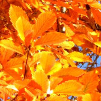 コナラの葉の輝く紅葉