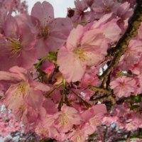 河津桜を見に行ってきました(^^)