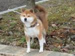 うちの柴犬、時折 虚ろな表情を見せる