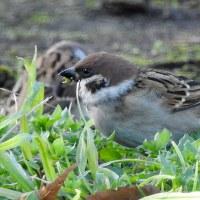 大堀川周辺の野鳥_スズメ(雀)