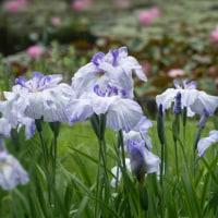 菖蒲園の花々