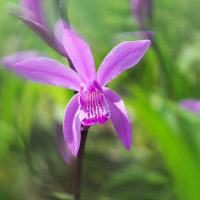 咲き出した紫蘭
