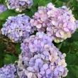 今年の紫陽花…‼️