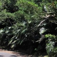クロツグの花 開花 ヤシ科クロツグ属 常緑性低木