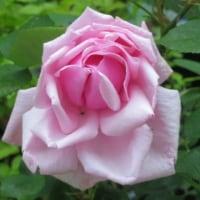 雨よ降らないで、バラ6種