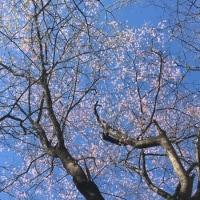ようやく山桜が咲き キクザキイチゲも・・・・・