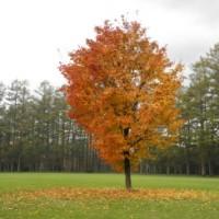 紅葉真っ盛りの一本の木