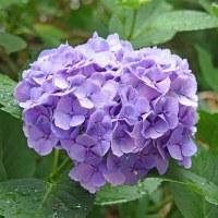 庭で咲く「紫陽花」(その2) !!
