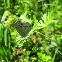 ヤマトシジミ蝶(雑草の中で)