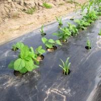 トウモロコシ「おおもの」(4)のタネまきと(1)(2)(3)の成長